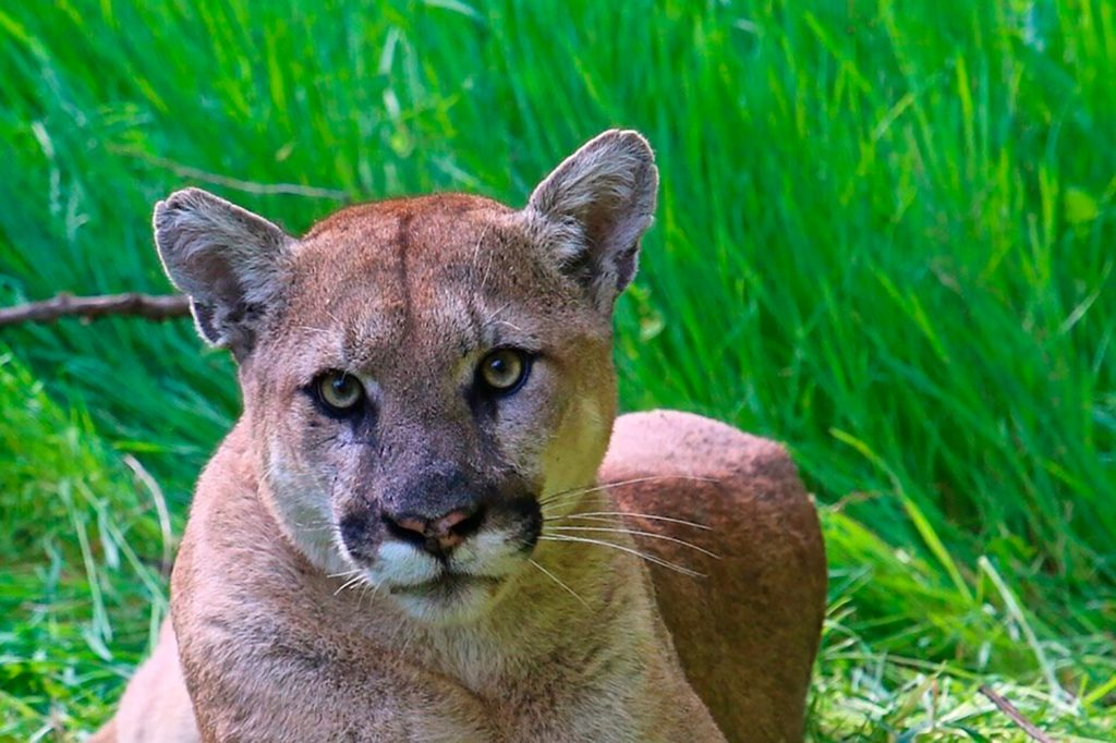 Mother Fights Mountain Lion To Rescue Her 5-Year-Old Child! Viral Story