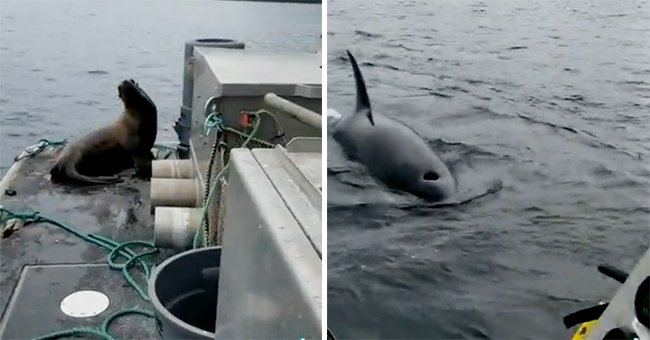 Sea lion climbs aboard a boat to escape orcas circling in the water | Photo: Twitter/keyon