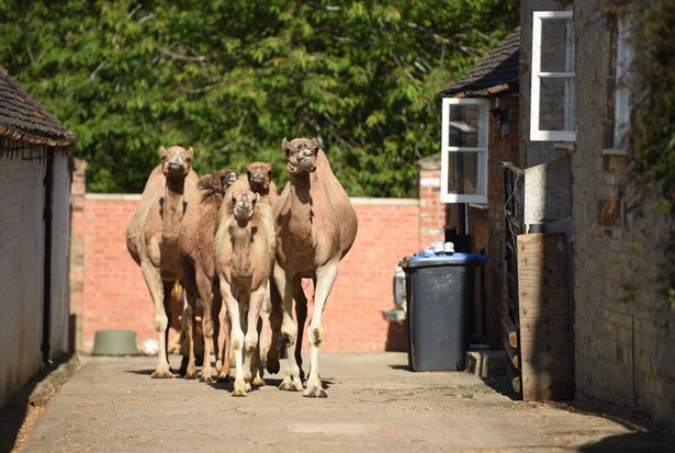 During the lockdown, a circus family buys camels to generate 'white gold' milk for £20 per litre