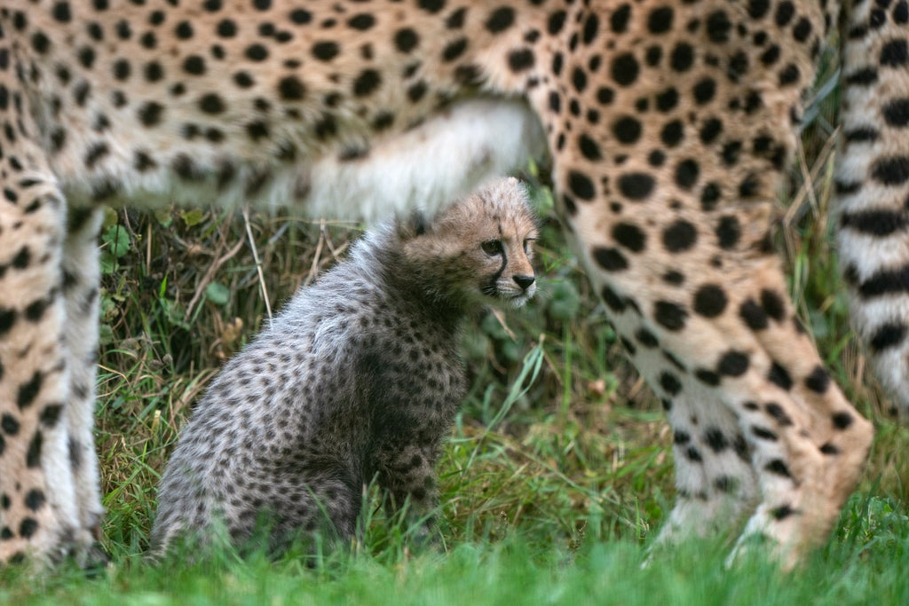 Public gets glimpse of East Anglia's baby cheetah two years in the making